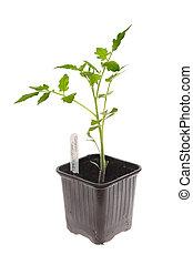tomaat plant