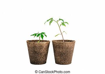 tomaat plant, witte , twee, vrijstaand