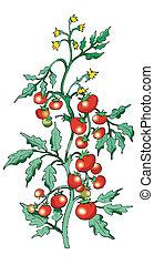 tomate, arbusto, fondo blanco