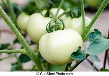 tomate, blanc