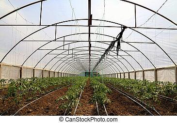 tomate, casa, verde, cultivar