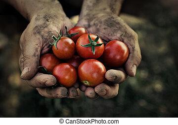 tomate, colheita