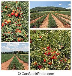 tomate, cultivo, colagem