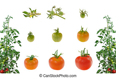 tomate, evolução, isolado, fundo, branco vermelho