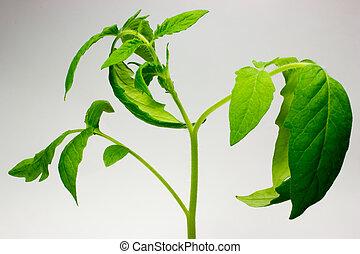 tomate, folhas, verde branco, fundo