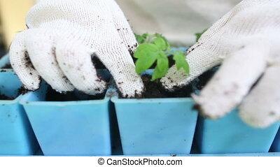 tomate, individu, pots, transplanter, seedlings