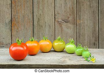 tomate, mûrir, évolution, processus, -, fruit, développement, étapes, rouges