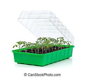 tomate, pequeno, germinação, bandeja, seedlings