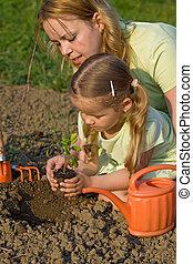 tomate, plantación, jardín, planta de semillero
