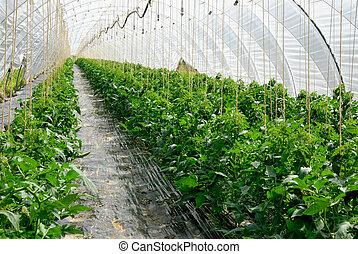 tomate, plantas, filas, invernadero