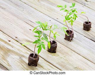 tomate, plantas