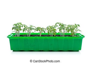 tomate, printemps, -, jeune, seedlings, pousses