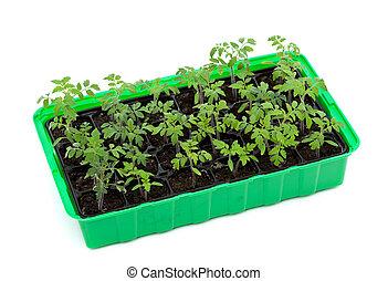 tomate, seedlings, em, germinação, bandeja