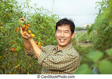tomate, seu, fazenda, idade, meio, asiático, segurando, agricultor