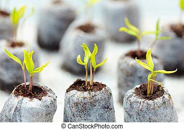 tomate, turba, pelotas, planta de semillero