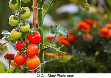 tomaten, reifen, garten