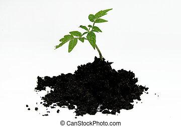 tomatenpflanze, gartenerde, junger, freigestellt, hintergrund, weißes