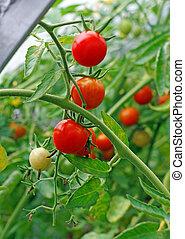 tomates, invernadero