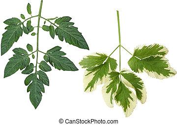 Tomato and Goutweed Leaf - Botanical tomato leaf isolated on...