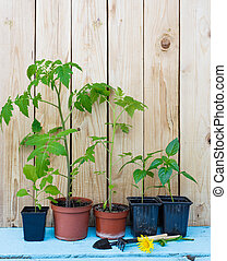 Tomato and pepper seedlings in pots on a wooden background.