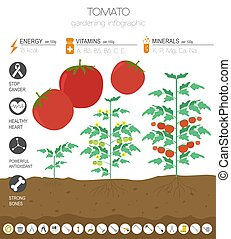 Tomato beneficial features graphic template. Gardening, farming infographic, how it grows. Flat style design