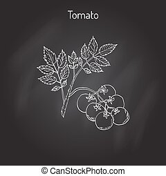 Tomato branch with fruits