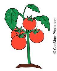 tomato bush 2