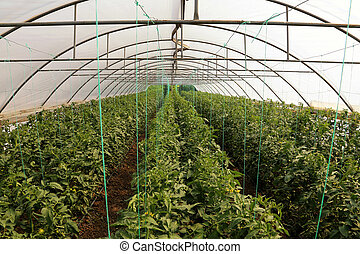 Tomato cultivating in green house