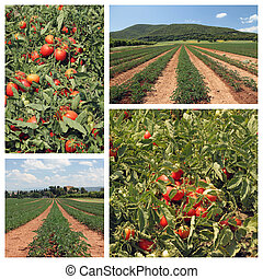 tomato cultivation collage
