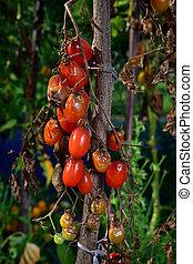 Tomato disease - late blight. - Tomato fungal disease - late...