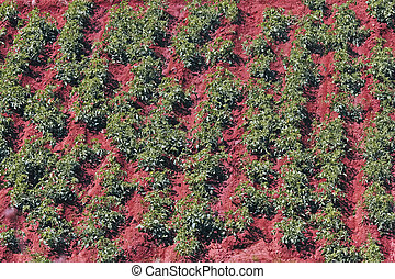 Tomato field on bright summer day