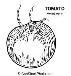 Tomato fresh food vector hand drawn illustration, drawing, engraving, ink, line art, vector.