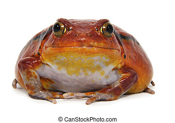 Tomato frog (Dyscophus Antongilii) isolated on white