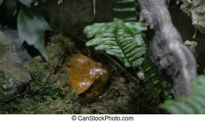 Tomato frog, endemic to Madagascar - Close-up shot of tomato...