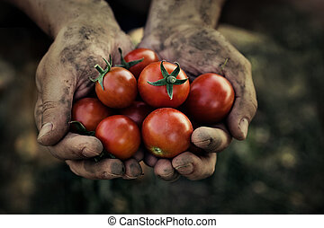 Tomato harvest. Farmers hands with freshly harvested ...