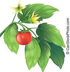 Tomato - Illustration of the tomato plant
