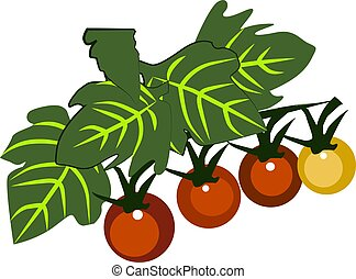 Tomato, illustration, vector on white background.