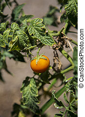 Tomato in garden