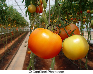 Tomato in hothouse