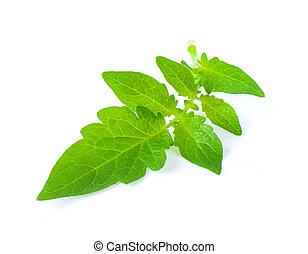 Tomato leaf isolated on white background