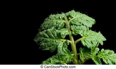 Tomato Leaf Time-lapse - Time lapse of leaf development in a...