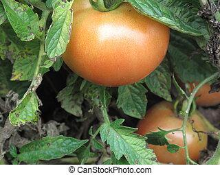 Tomato on a vine