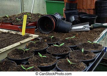 tomato plant 16