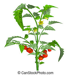 Tomato plant - The tomato is the edible, often red...