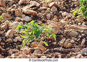 tomato plant, green branch