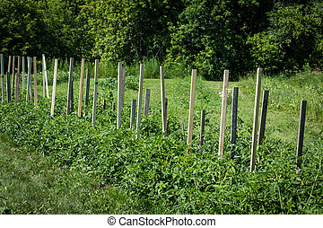 tomato plant growing in the field with wood support