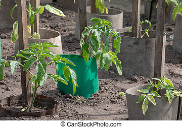 Tomato plant growing in the soil