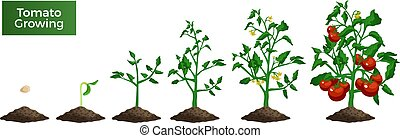 Tomato plant growth stages set of isolated realistic images with seed sprout mature plant and text vector illustration