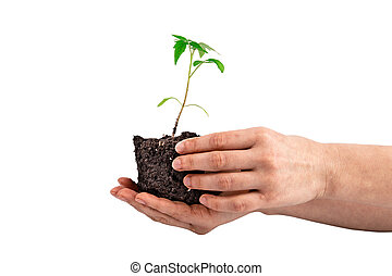 tomato plant in the hand isolated on white