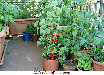 Tomato plant in the pot on the terrace of a house in the...